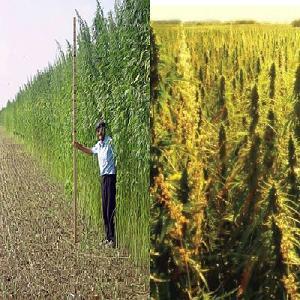hemp-versus-marijuana